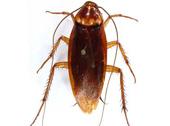 American Cockroach Bug